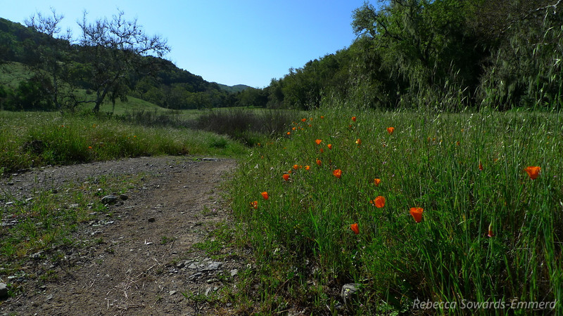 Poppies along Hunting Hollow Road