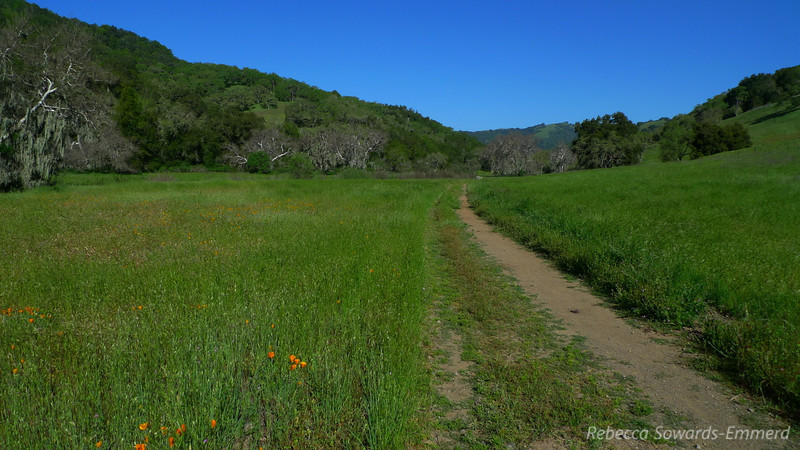 Poppies were just starting to open up along Hunting Hollow Road