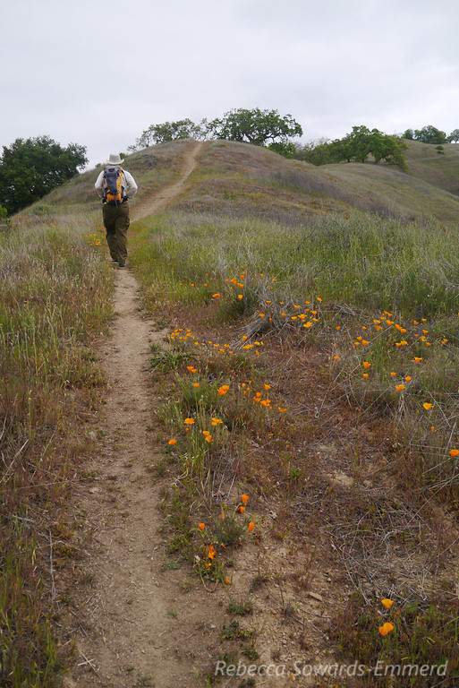 Poppies line the Lyman Wilson Ridge trail