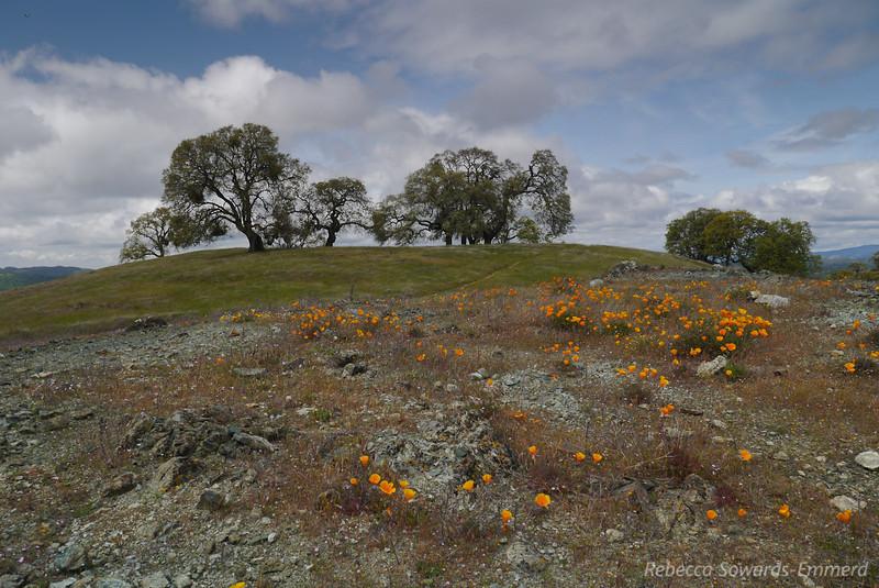 Poppies, serpentine, oaks.