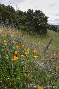 Poppies above Wilson Camp
