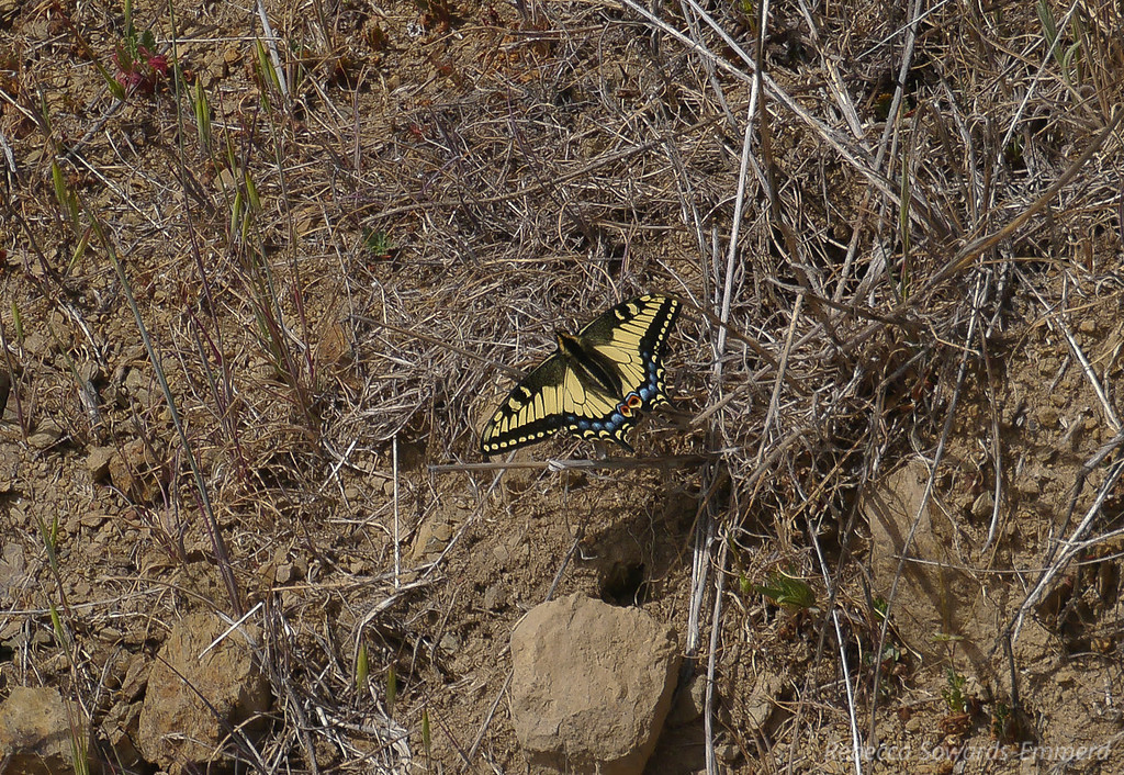 This swallowtail paused long enough for photos. Thank you!