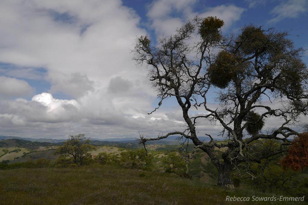 Oak at the top of the ridge