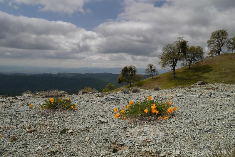 Poppies on Serpentine