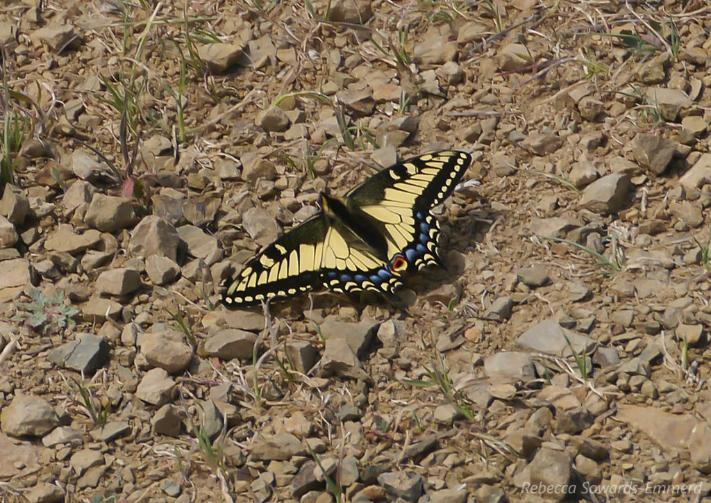 Cropped in shot of the swallowtail.
