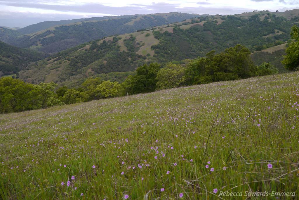 Field of geranium.