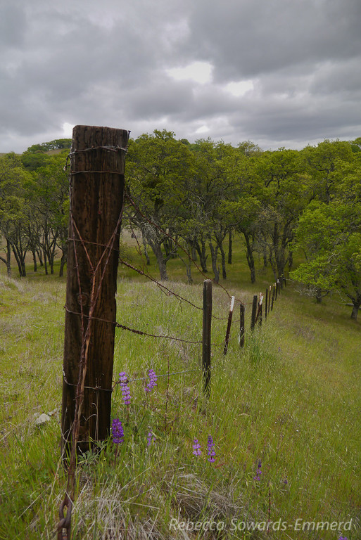 Fence, the temporarily gloomy sky, and lupine.