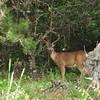 Deer (at 200mm handheld zoom)