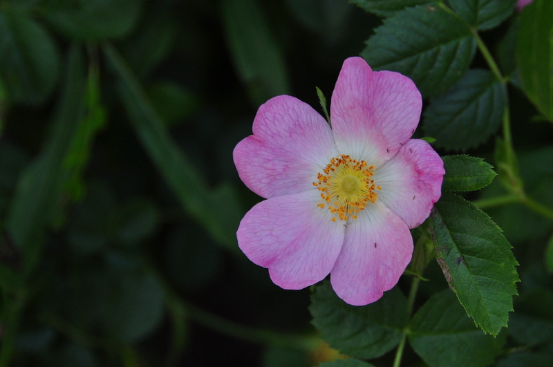 Wild Rose - they smelled spectacular, I knew I was coming upon a bush before I even saw them.
