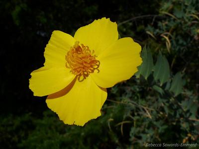 Bush Poppy