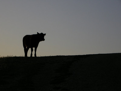 A bovine local greets us near the beginning of the climb.  Moo