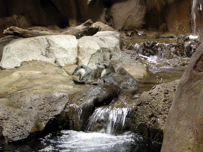 African river otters Again, so frisky that it was hard to take photos