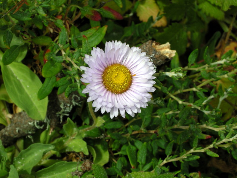 Seaside Daisy, Point Lobos