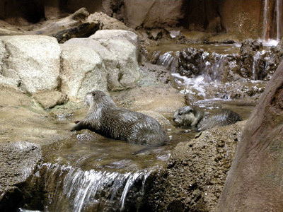 African river otters