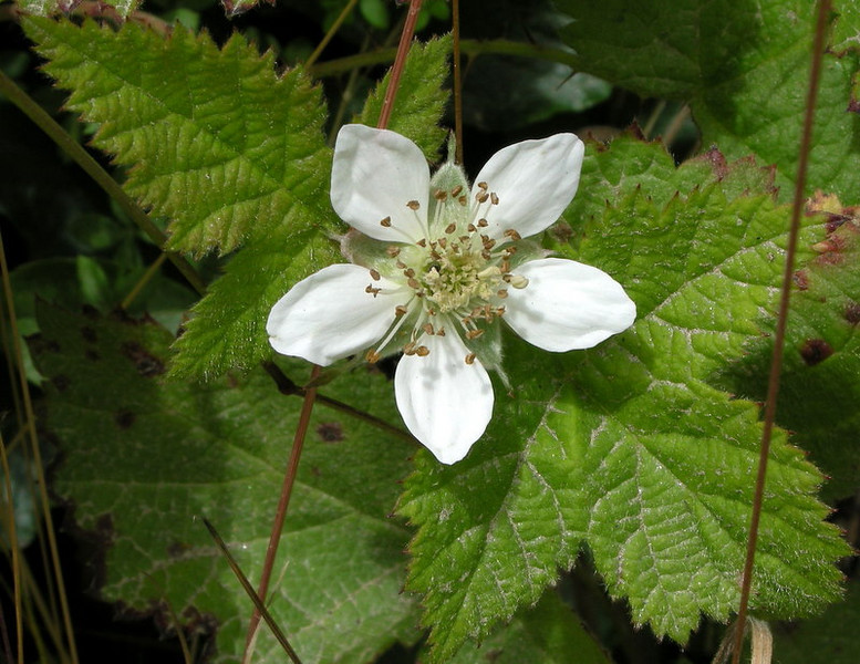 Wild Strawberry, Point Lobos