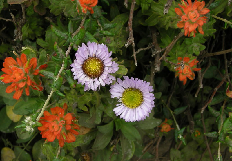 Seaside Daisies (purple) and ? (red)