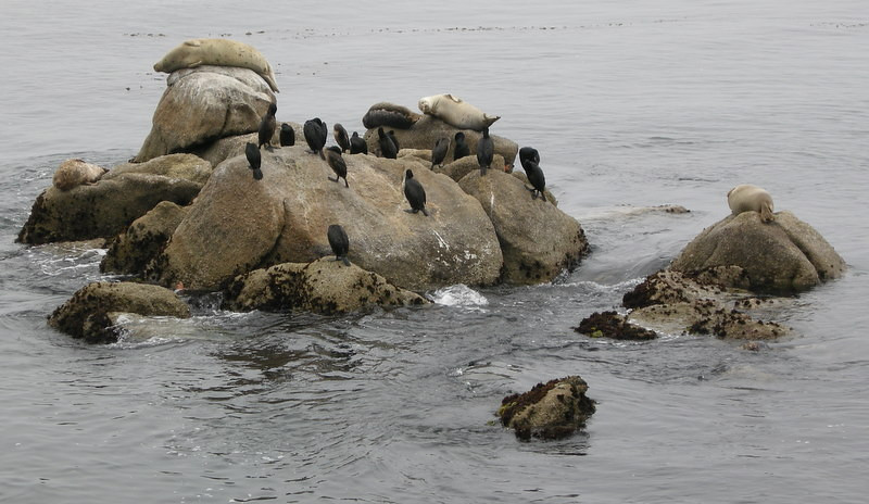 Seals and cormorants on a rock behind the Monterey Bay Aquarium