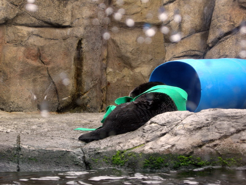 Sea otter playing with his toys