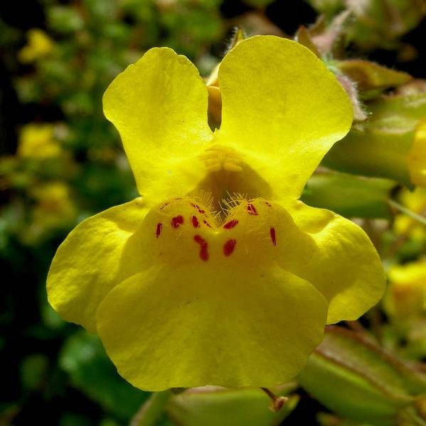 Variety of Monkeyflower, Point Lobos