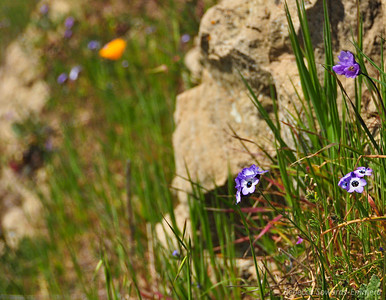 Bird's Eye Gilia along the trail