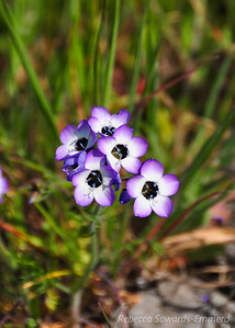 Name: Bird's Eye Gilia (Gilia tricolor) Location: Ed Levin County Park Date: March 27, 2010
