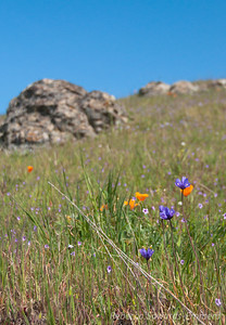 Hillsides of Poppies, blue dicks, birdseye gilia, and filaree.