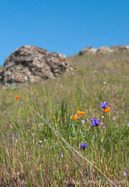 Hillsides of Poppies, blue dicks, birdseye gilia, and filaree.