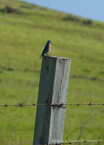 Bluebird on a fencepost