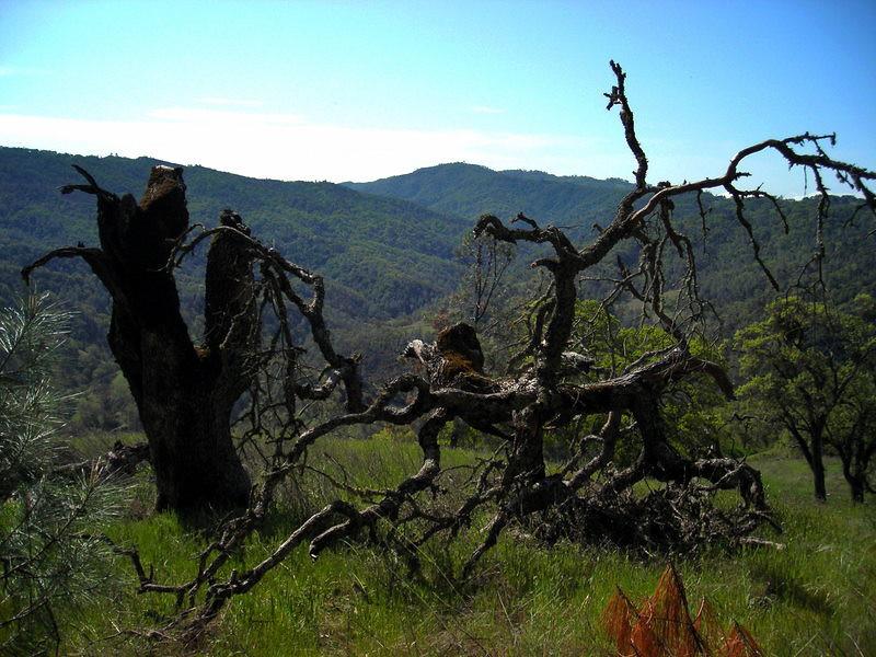 Knarled tree near the Jackass trail turnoff