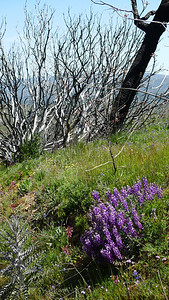 Lupine with burned trees