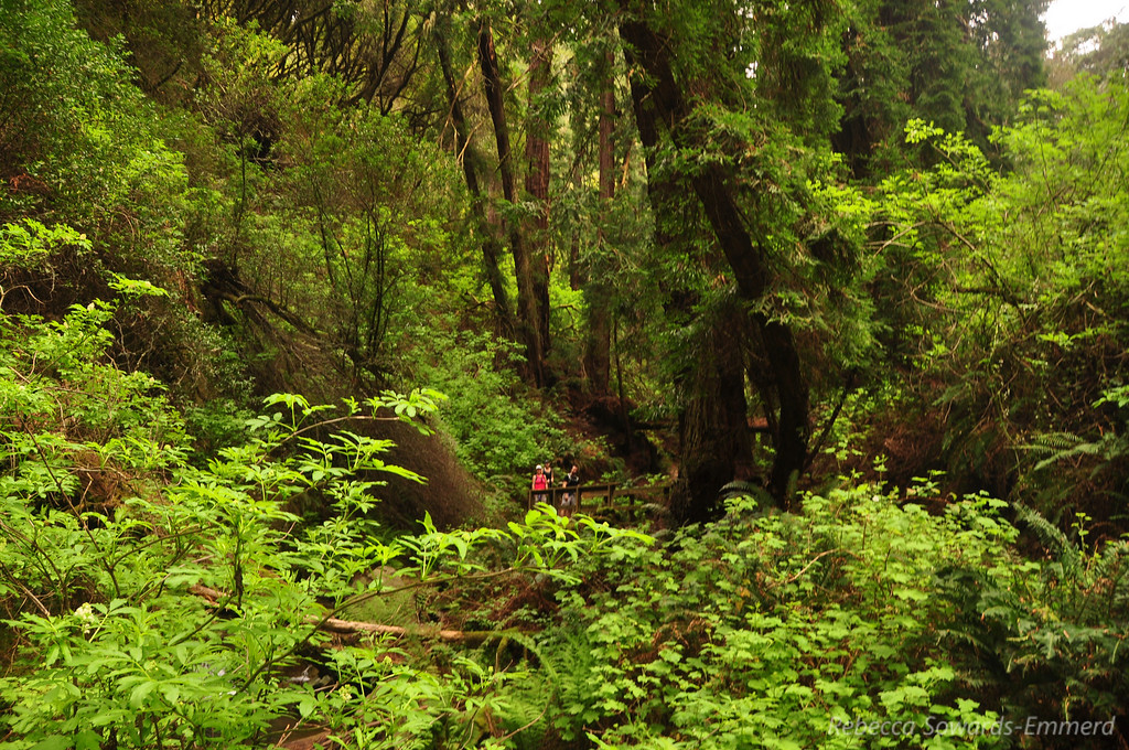 Ferny redwood forest along this trail