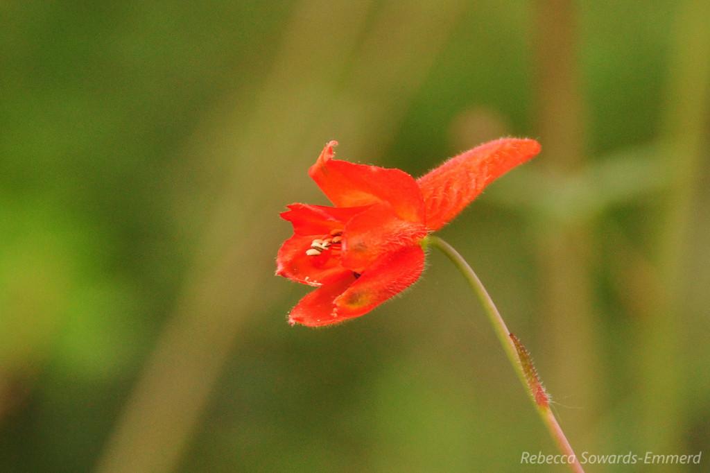 Red larkspur