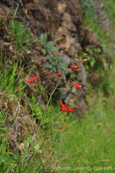 Red Larkspur
