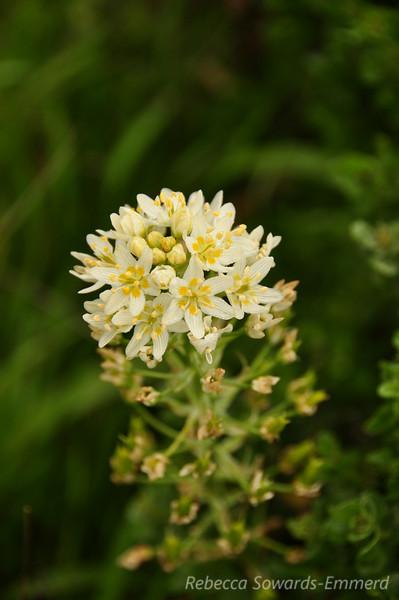 Name: Star Lily (Zigadenus fremontii)<br /> Location: Mt Tamalpais<br /> Date: March 21, 2010