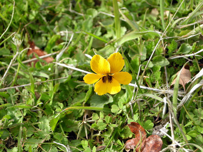 Name: Johnny Jump Up, Yellow Pansy, California Golden Violet (Viola pedunculata) Location: Ohlone Wilderness Trail Date: February 28, 2009