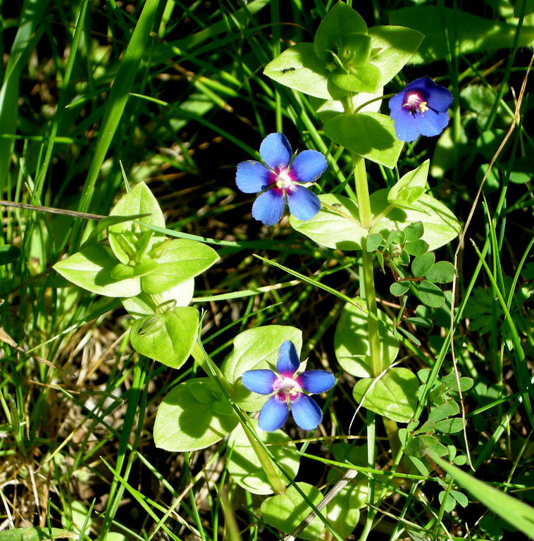 Name: Blue Pimpernel (Anagallis arvensis)<br /> Location: Point Reyes National Seashore<br /> Date: March 15, 2008