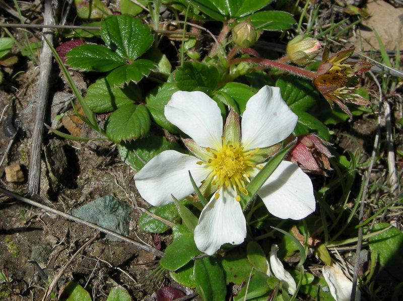 Beach Strawberry flower