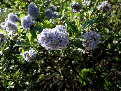 Common Name: Carmel Blue-brush Or Blue-blossom Location: Point Reyes National Seashore Date: March 15, 2008 Color: Blue Details: Ceanothus thyrsiflorus