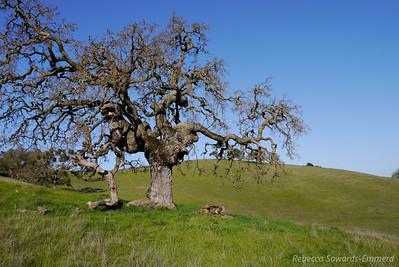Gnarled oaks everywhere.