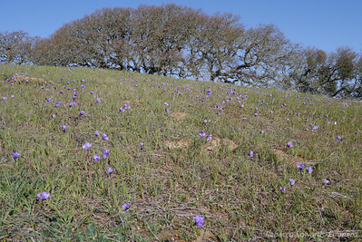 Field of Blue Dicks. It was windy, which made it difficult to photograph wildflowers.