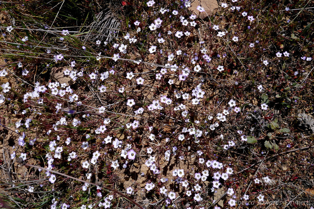 Found a field of Bird's Eye Gilia blowing in the wind.