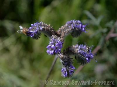 Phaecelia and bee butt