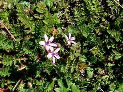 Common Name: California Filaree Location: Pinnacles National Monument Date: March 9, 2008 Color: Pink Details: Erodium cicutarium