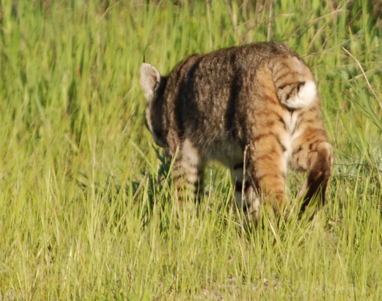 Bobcat that strolled through our campsite<br /> <br /> Photo By Dave