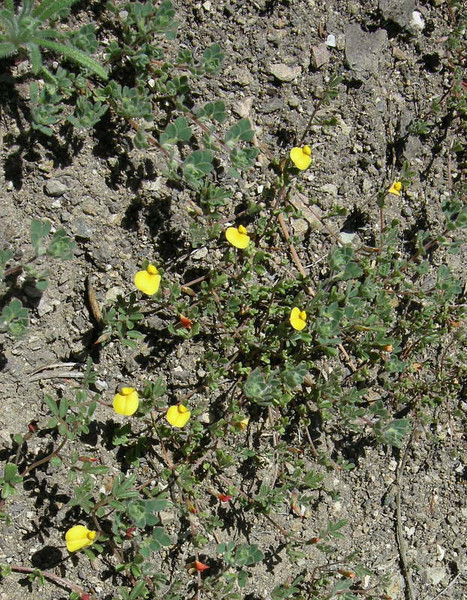 Name: Hill Lotus (Lotus humistratus)<br /> Location: Pinnacles National Monument<br /> Date: March 9, 2008
