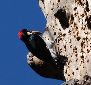 Woodpecker  Photo By Dave
