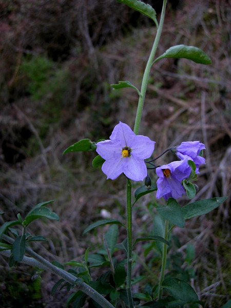 Name: Nightshade, Blue Witch (Solanum umbelliferum)<br /> Location: Pinnacles National Monument<br /> Date: March 8, 2008