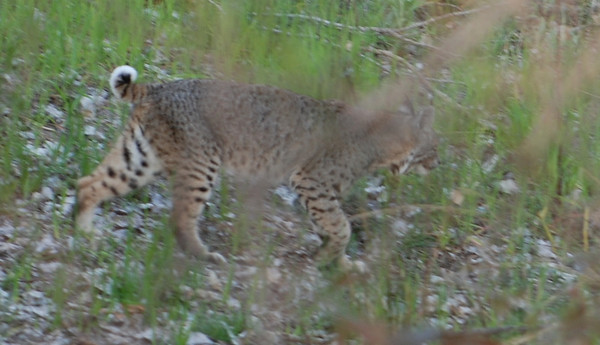 Bobcat that strolled through our campsite  Photo By Dave