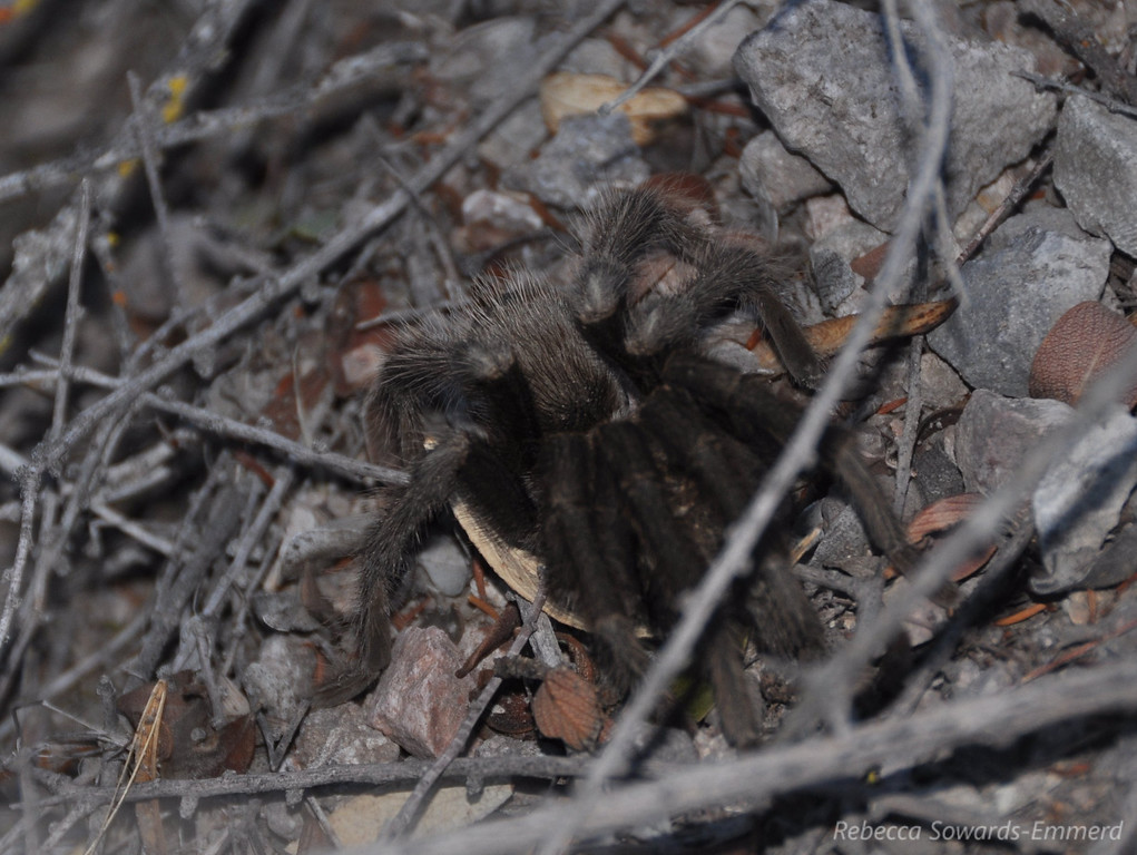 Creepy Crawly tarantula on the trail.