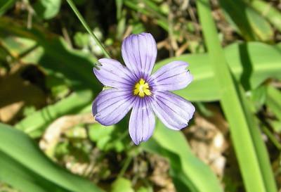 Blue Eyed Grass